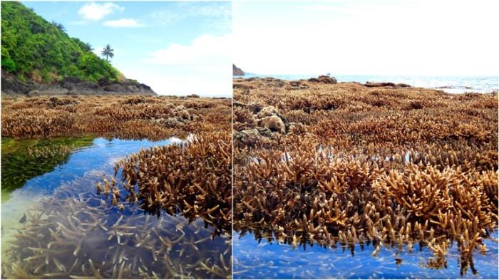 coral garden, Mahabang Buhangin beach, Calaguas Islands, Vinzons, Camarines Norte, Philippines