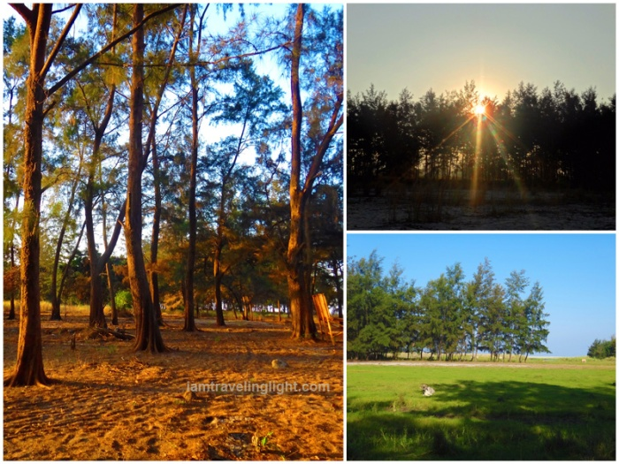 agoho pine trees, sunrise, cow, grass, Zambawood Resort, luxury resort, advocacy resort, La Paz, San Narciso, Zambales
