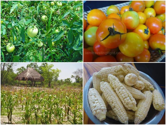 organic corn, organic tomatoes, organic farm, Zambawood Resort, luxury resort, advocacy resort, La Paz, San Narciso, Zambales