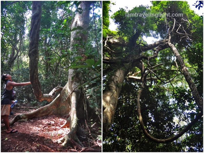 unusual trees with braided, twirling, branches, possibly banyan (balete) family, trek to nearby falls, cape engano, siwangag cove, palaui, santa ana, cagayan, ph