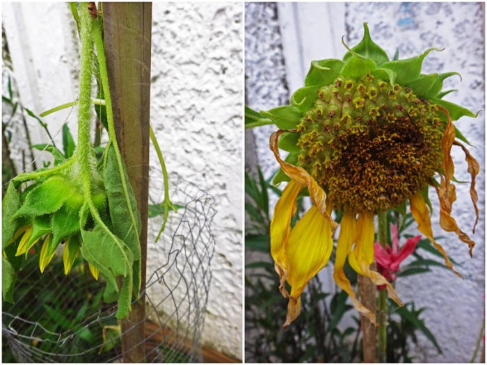 sunflowers after the storm (Typhoon Glenda)