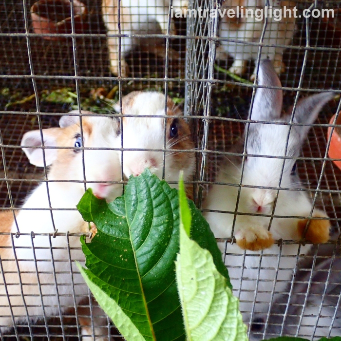 rabbits-for-fertilizer-nitrogen-organic-farm-costales-farm-majayjay-laguna-costales-nature