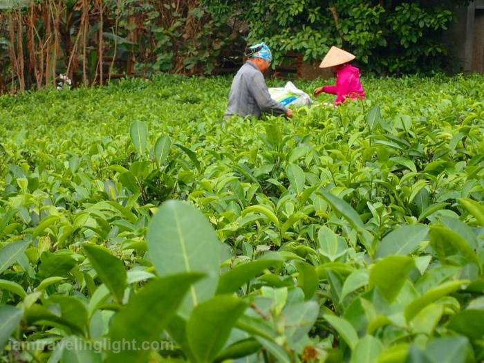 locals-picking-green-tea-leaves-ba-vi-hanoi-vietnam