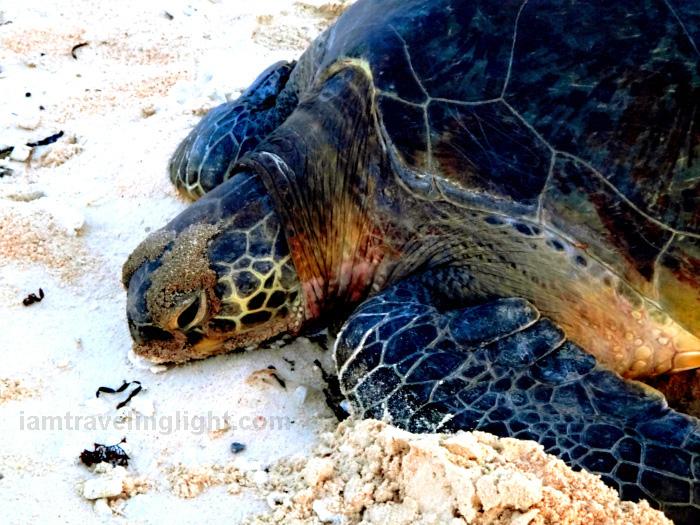 pawikan, marine turtle, nesting, laying eggs, Apo Reef.jpg