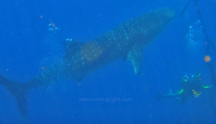 Whale shark Moalboal