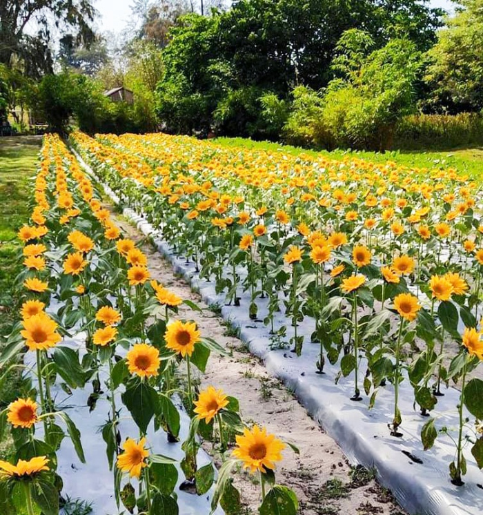 March 21 full bloom summer, Julyan's sunflower farm, autism advocacy, San Narciso, Zambales