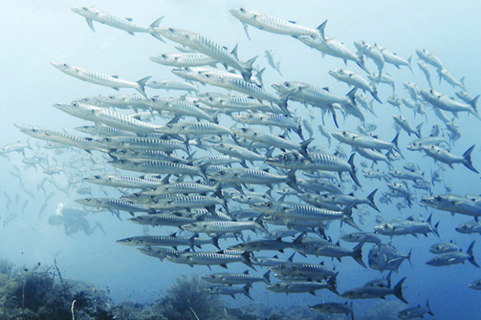 barracuda Tubbataha Reef
