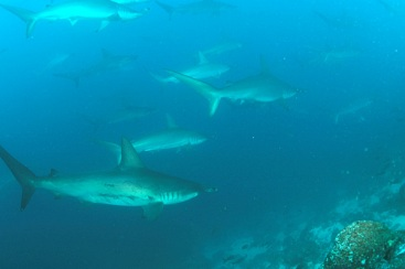School_of_Hammerhead_sharks