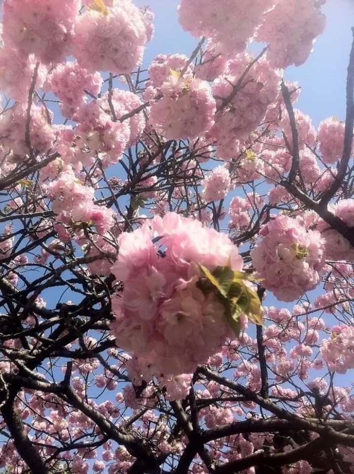 Japan cherry blossom pink closeup
