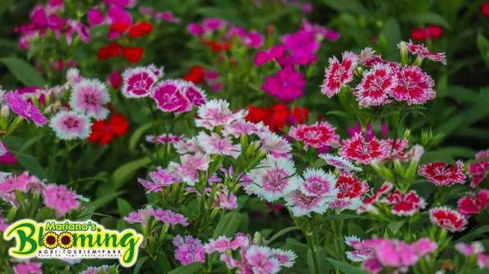 Mariano's Blooming Petals, carnations, dwarf dianthus, Mariano's Blooming Agritourism Park, Tupi, South Cotabato