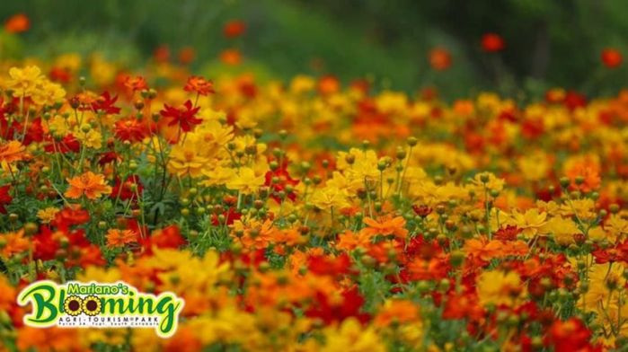 Mariano's Blooming Petals, cosmos, Mariano's Blooming Agritourism Park, Tupi, South Cotabato