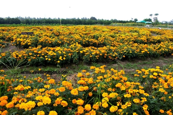 Mariano's Blooming Petals, marigolds, Mariano's Blooming Agritourism Park, Tupi, South Cotabato