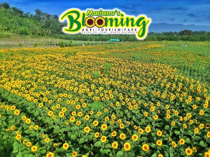 Mariano's Blooming Petals, sunflower field, aerial, pattern, Mariano's Blooming Agritourism Park, Tupi, South Cotabato