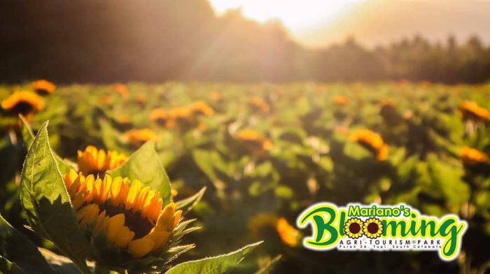 Mariano's Blooming Petals, sunflowers, golden hour, sunlight, Mariano's Blooming Agritourism Park, Tupi, South Cotabato