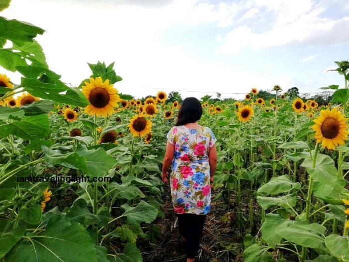 Mariano's Blooming Petals, sunflowers, Mariano's Blooming Agritourism Park, Tupi, South Cotabato