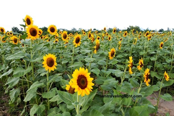 Mariano's Blooming Petals, sunflowers, maze, Mariano's Blooming Agritourism Park, Tupi, South Cotabato