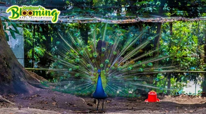 peacock in Mariano's Blooming Petals flower park, South Cotabato