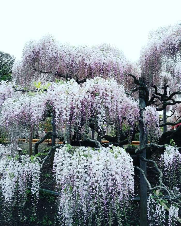 wisteria, spring, Ashikaga Flower Park, Japan